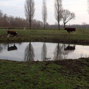 Koeien In De Moringerwaarden