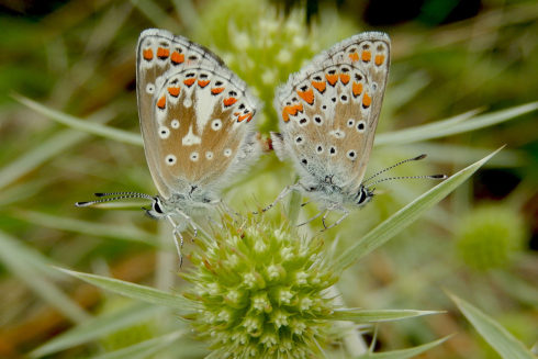 Bruine Blauwtjes - Parend