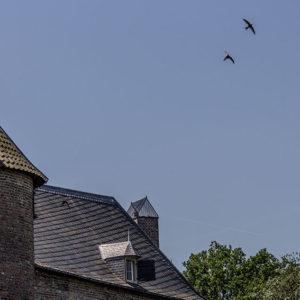 In Kasteel Waardenburg Huist Een Grote Kolonie Gierzwaluwen