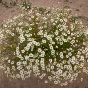 Deze Bloemen Doen Het Ook Goed Op De Nieuwe Zandplaten