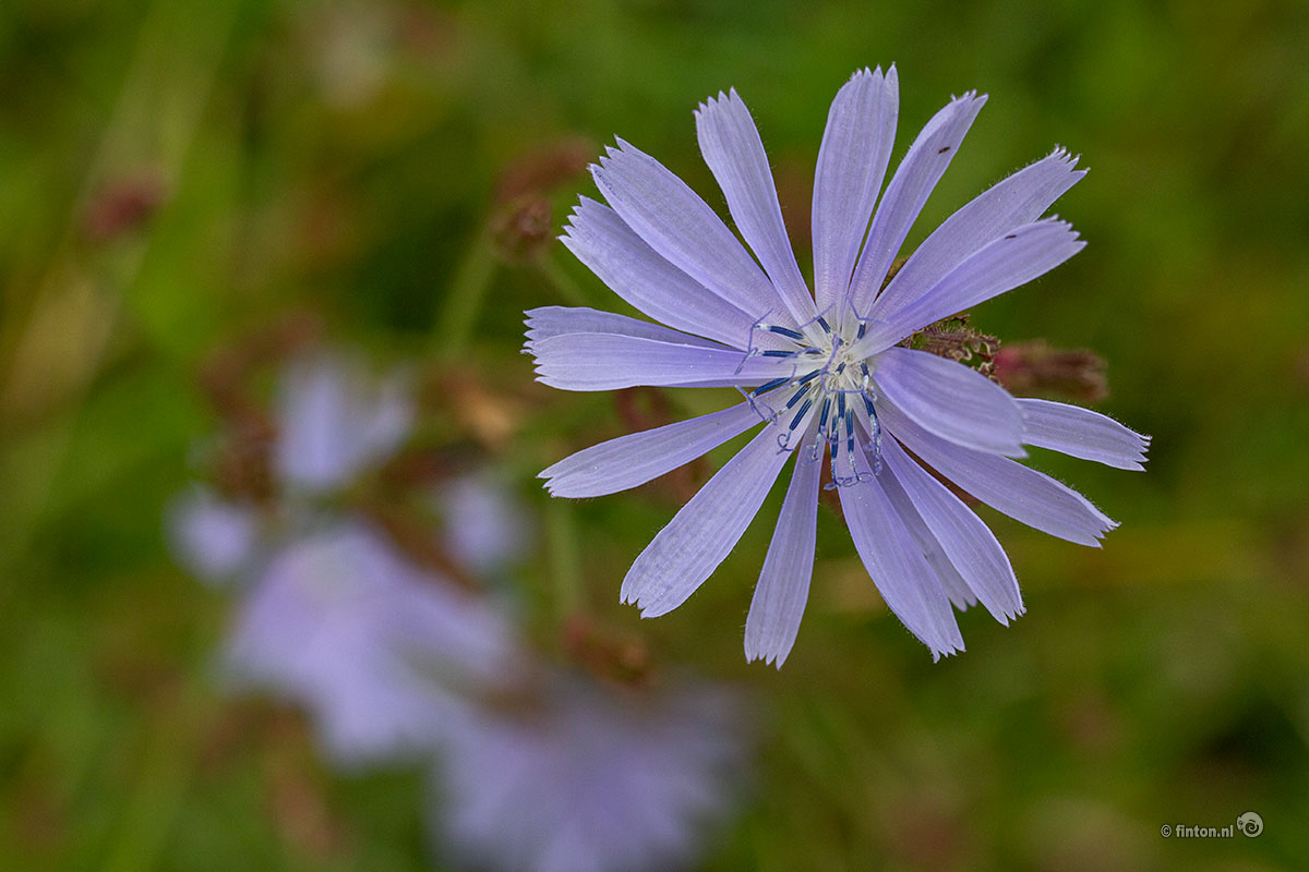Wilde Cichorei (Cichorium Intybus)