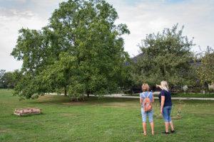 Bij een al oudere notenboom
