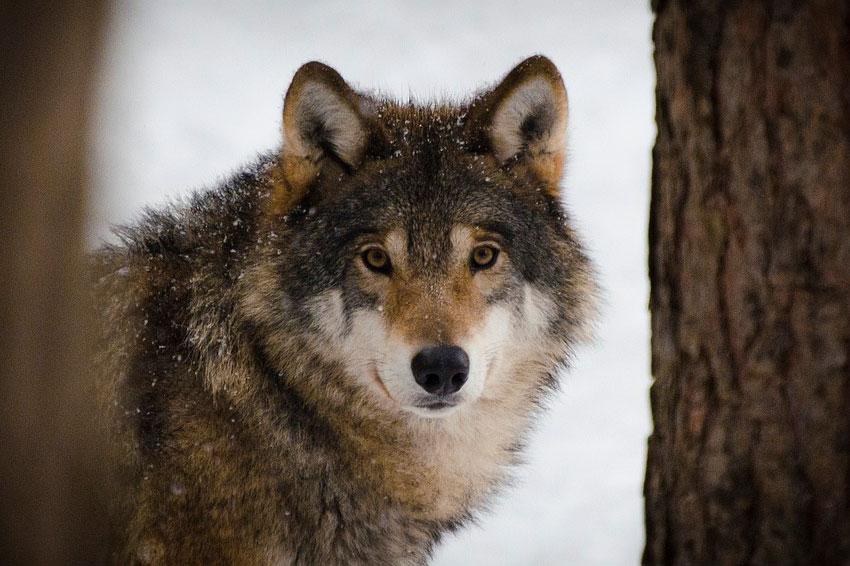 Lezing 'De Wolf Is Weer Terug In Nederland'