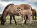 Eerste Konikpaard-veulentje In Heesseltsche Uiterwaarden