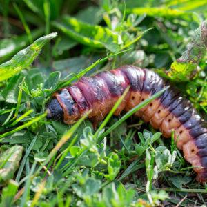 Wilgenhoutrups (Cossus Cossus)