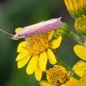Prachtmot (Oncocera Semirubella)