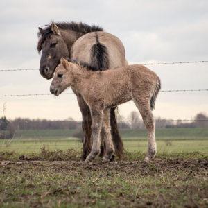 Konik (Equus Ferus Caballus)