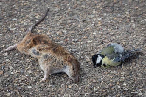 Het Mysterie Van De Bruine Rat En De Koolmees