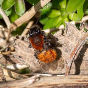 Vosje (Andrena Fulva)