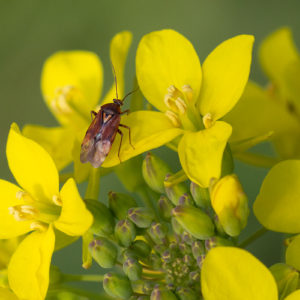 Weidewants (Lygus Pratensis)