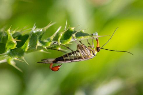 De Schorpioenvlieg, Het Vogelbekdier Van Het Insectenrijk