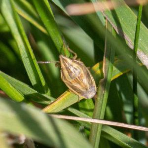 Mijterschildwants (Aelia Acuminata), Park Vijverberg Tiel