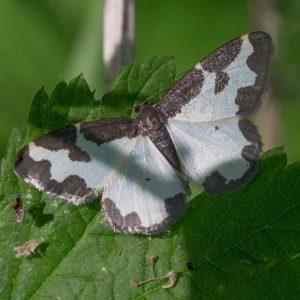 Gerande Spanner (Lomaspilis Marginata)
