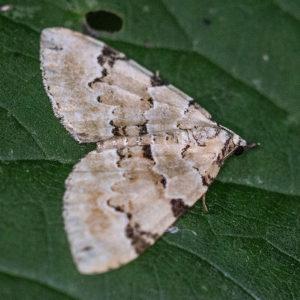 Kleine Groenbandspanner (Colostygia Pectinataria)