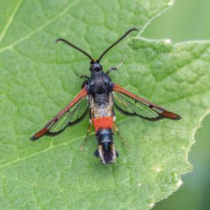 Wilgenwespvlinder (Synanthedon Formicaeformis), Landgoed Neerijnen