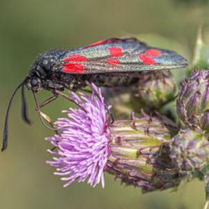 Sint-jansvlinder (Zygaena Filipendulae), Kaliwaalduin