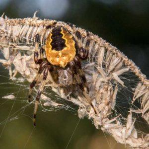 Marmerspin (Araneus Marmareus), Crobsche Waard