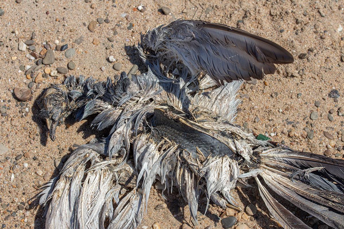dood duif struinvondst postduif