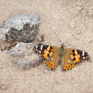 Distelvlinder (Vanessa Cardui), Kaliwaalduin