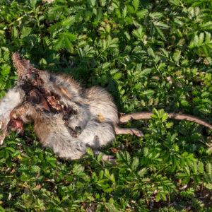 Bruine Rat (Rattus Norvegicus), Wetland Passewaaij