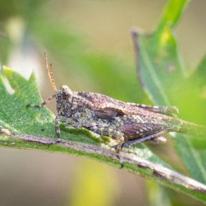 Zeggendoorntje (Tetrix Subulata), Wetland Passewaaij