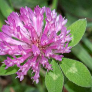 Rode Klaver (Trifolium Pratense), Kleine Willemswaard Planten Flora Bloemen