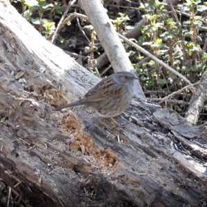 Heggenmus (Prunella Modularis), Uiterwaarden Beneden-Leeuwen